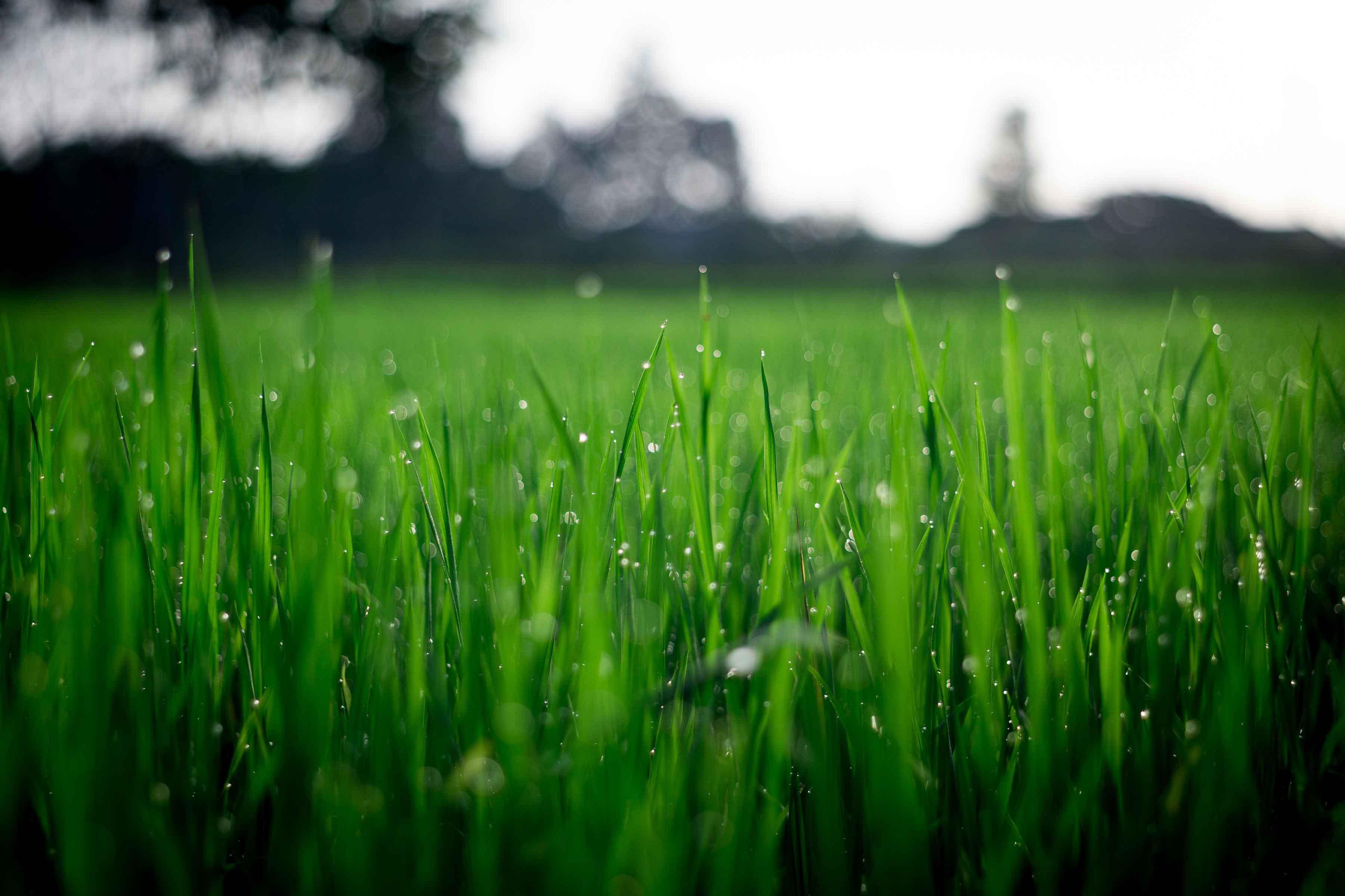 Healthy lawn turf